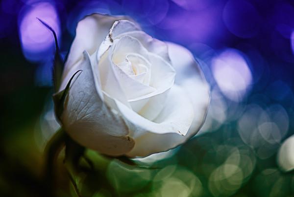 Rose Bokeh